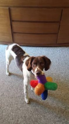 #COFlood #COPets FOUND DOG: Male spaniel in Westminster, Sheridan Green area. http://denver.craigslist.org/laf/4073612347.html