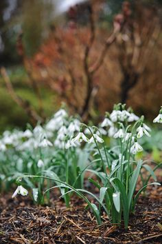 Galanthus 'Trumps'. Photo by Jason Ingram. Gardens Illustrated February 2013