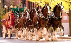 Budweiser is ditching the Clydesdale horses in its advertising and is focusing its efforts only on to with marketing that includes zombies Clydesdale Horses, Grass Valley, California Camping, Southern California, All About Horses, Big Horses, Los Angeles County, Draft Horses, Summer Solstice