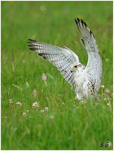 Faucon sacre (Falco cherrug)  (Saker Falcon) Kestrel, Birds Of Prey, Raptors, Bats, Animal Photography, Medicine, Spirit, Number, Tattoo