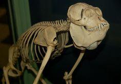 Howler monkey sheleton - At the Harvard Museum of Natural History in Boston, MA. Animal Skeletons, Animal Skulls, Primates, Mammals, Animal Anatomy, Animal Bones, Skull Fashion, Baboon, Human Skull