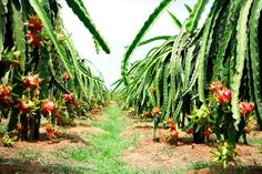 My Tho is admired of four islets named after four legendary animals of Dragon (Long), Unicorn (Lân), Turtle (Quy) and Phoenix (Phượng). My Tho is also famous for the fishing ports and immense of fruit gardens of Pineapple (Dứa), Papaya (Đu Đủ), Rambutan (Chôm Chôm), Longan (Nhãn), Dragon fruit (Thanh Long)…