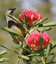 """Birdscaping"" pick the right blooms that will attract certain, native birds Beautiful Flowers, Australian Garden, Australian Native Flowers, Modern Garden, Australian Plants, Native Garden, How To Attract Birds, Outdoor Gardens, Native Plants"