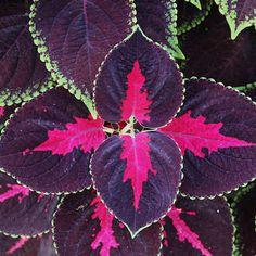 Coleus Shade Plants