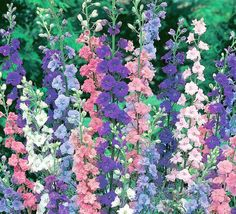 Larkspur  Larkspur is from the buttercup family of plants and botanically named Consolida ajacis. It is an easy-growing annual that attracts hummingbirds. It grows 2 to 3 feet tall, and its bright-green leaves are feather-like. The flowers are on spikes, and the colors depend on the cultivars. It is hardy in zones 3 through 11. Propagate via seed in full sun with regular watering