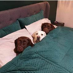 I am A Labrador Owner & In This Page I will Provide labrador retriever puppies labrador retriever facts And labrador retriever training & care Lab Puppies, Cute Dogs And Puppies, Baby Dogs, I Love Dogs, Doggies, Retriever Puppies, Labrador Retrievers, Adorable Puppies, Cute Animal Pictures