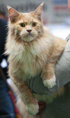 The Largest Cat Breeds #cats #catbreeds #mainecooncat (Article from www.MetaphoricalPlatypus.com; Maine Coon Cat Photo by Maine Coon Cat, Heikki Siltala, catza.net)