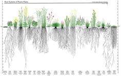 Root System of Prairie Plants. Shows why prairie plants are such great things! (and so hard to transplant) Prairie Planting, Prairie Garden, Landscape Drawings, Landscape Design, Root Structure, Root System, Aquaponics System, Plant Design, Native Plants