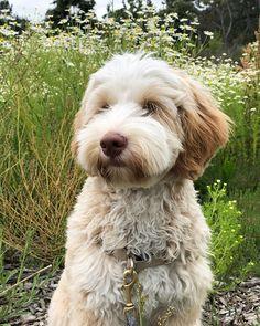 #miniaturelabradoodle hashtag on Instagram • Photos and Videos Memorial Day, Miniature Labradoodle, Brave, Labradoodles, Memories, Photo And Video, Adorable Animals, Dogs, Instagram