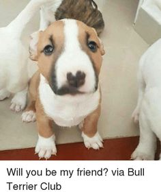 Memes, , and Bull Terrier: Will you be my friend? via Bull Terrier Club