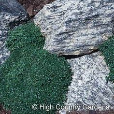 At High Country Gardens our mission is to improve the earth one garden at a time by offering unique plants that are drought resistant or native. Thymus Serpyllum, Yoga Garden, High Country Gardens, Creeping Thyme, Unique Plants, Dwarf, Water Features, Perennials, Stepping Stones