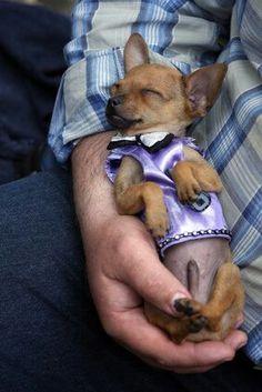 Chihuahua love......♥