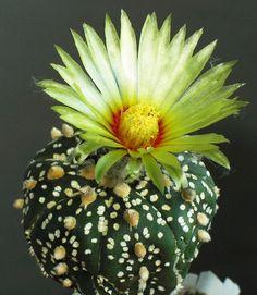Astrophytum Asterias Cv Súper Kabuto
