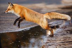 Fox by Kristin Castenschiold