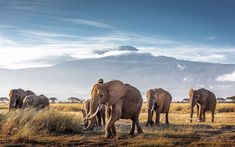 See a rich collection of Animals/Wildlife images, photos or vectors for any project. Explore quality Animals/Wildlife pictures, illustrations from top photographers. World Elephant Day, Elephant Walk, Elephant Afrique, Elephants Photos, Mount Kilimanjaro, Kenya Africa, Pet Day, Parc National, African Countries