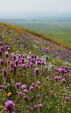 California wildflowers in the hills around Arvin