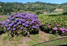 Brookings Oregon hydrangea farm Brookings Oregon, Hydrangeas, Plants, Pictures, Plant, Hydrangea Macrophylla, Planets