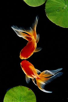 Gorgeous close up portrait of two vivid orange goldfish among the green waterlily leaves in the pond... an intriguing photo shot taken from below the fish. -DdO:) http://www.pinterest.com/DianaDeeOsborne/underwater-glory