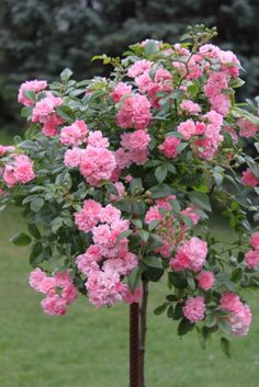 bloom all summer and can be surrounded by deep boxwood hedges to allow for removal of grass. Pink Garden, Lawn And Garden, Beautiful Roses, Beautiful Gardens, Mousse Fruit, Rose Queen, Rose Pictures, Rose Cottage, Outdoor Plants