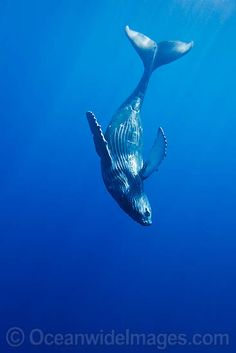 Humpback Whale Calf (Megaptera Novaeangliae) Swimming Near its Mother, Hawaii… Orcas, Whale Tattoos, Save The Whales, Whale Art, Wale, Ocean Creatures, Humpback Whale, Killer Whales, Ocean Life
