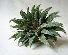 Haworthia schuldtiana