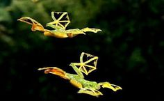 Flying Frogs.