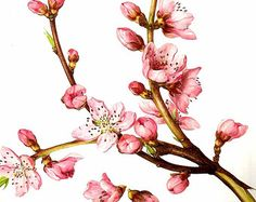 illustrations of peach tree branches - Google Search