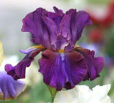 Tall Bearded Iris 'Mescalero Chief'