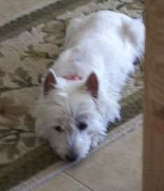 Westie Puppies For Sale, Dogs For Sale, West Highland Terrier Puppy, 50th Wedding Anniversary Decorations, West Highland White, White Terrier, Westies, Vip, Adoption