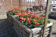HAVEHJERNEN: Tulipanløg med udvækster