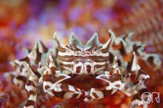 A zebra crab (Zebrida adamsii) on a fire urchin, Ambon. Dr R Smith