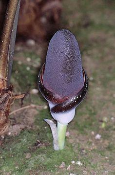 Amorphophallus aphyllus