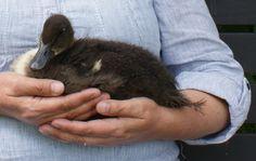 Flora Puddleduck, age 5 weeks. http://adaliza.wordpress.com/2011/05/28/love-a-duck/
