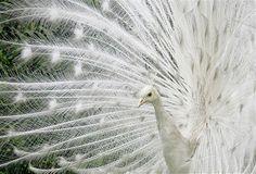 Image: Colombian albino Peacock open his plumage at Botanic Garden in Bogota (© ELIANA APONTE//Reuters) Pavo Real Albino, Albino Peacock, Beautiful Birds, Animals Beautiful, Cute Animals, Zoo Animals, Animal 2, Mundo Animal, Melanism