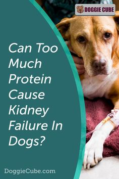 Some dog owners think that too much protein can cause kidney failure in dogs. So they restrict the amount of dog protein in their pet's diet for fear that it may affect their health. So is this something to worry about or is it just a myth? Find out more. Dog Nutrition, Dog Diet, Kidney Failure, Guide Dog, Medical Problems, Dog Care Tips, Dog Grooming, Dog Owners, Dog Training