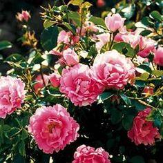 Marktäckande ros 'The Fairy' Finns i min trädgård Fairy, Flowers, Plants, Espadrilles, Gardens, Tips, Espadrilles Outfit, Advice, Florals
