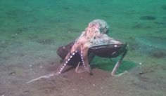 Incredible Octopus Behavior Nearly Caused Scientist To Drown From Laughing More evidence for why I contend that cuttlefish and octopuses are serious contenders for the most advanced life forms on the planet.