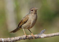 Foto sabiá-barranco (Turdus leucomelas) por Paulo Silva 7 | Wiki Aves - A Enciclopédia das Aves do Brasil
