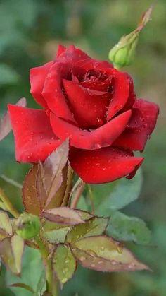 Роза красная… Ты символ страсти…     О, роза красная! Ты – символ страсти, Красуешься ты гордо средь других цветов, Ты – символ щедрости души и символ счастья, И тот, кто дарит розу – дарует любовь! Не устаю я  любоваться розой красной, Чудесной нежностью атласных лепестков, И тот, кто дарит сей цветок прекрасный –  Тот дарит душу, сердце и любовь!  Зовется роза королевою недаром, Она – прекраснейшая из цветов, Ведь роза – лучший праздничный подарок, Обычай этот к нам пришел из глубины…