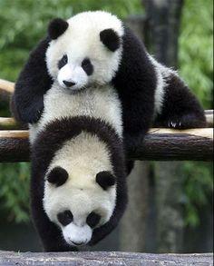 Imagen de http://www.pandas-7.com/wp-content/uploads/2012/08/imagenes-osos-pandas-imajenes-ositos-fotografia-foto.jpg.