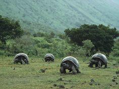 Galapagos Islands tortoises