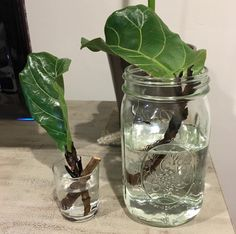Pruning & Propagating Fiddle Leaf Fig Plants propagating - rooting fiddle leaf fig tree in water - a Growing Fig Trees, Ficus Lyrata, Fiddle Leaf Fig Tree, Fig Leaf Tree, Plants Are Friends, Plant Cuttings, Fig Leaves, Trendy Tree, Green Plants