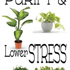 House plants make great additions to your home; they can add color and interest to your decor, create a healthier living space with their air purifying and filtering properties, and they can even lower stress levels!    In fact, studies have shown that hospital patients who have living plants in their rooms