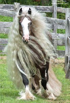 Gypsy Vanner (aka Irish Cob) mare, Flirtini, at Dungarvan Feather. (photo: Helen Peppe)
