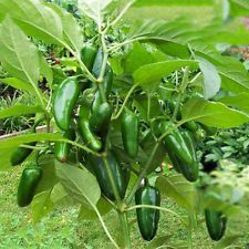 100 Jalapeno Chile Pepper Seeds Super Non Gmo Heirloom Vegetable Seeds