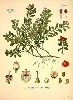 Uva ursi | Monographs | The Herbarium