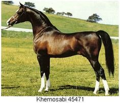 This weeks horse is KHEMOSABI Foaled May 1967 Khemosabi is one of the stallion with the most influence and fame in the today's American arabian breed. His Pedigree: table border= Beautiful Arabian Horses, Majestic Horse, Arabian Stallions, Dressage Horses, Horses And Dogs, Horse World, All The Pretty Horses, Horse Photos, Mundo Animal