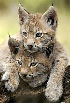 Two Young Lynx Kittens.