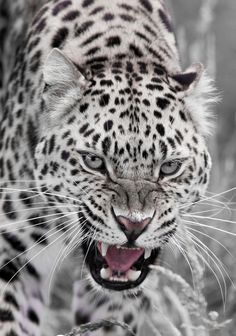 Awesome Leopard Snarl