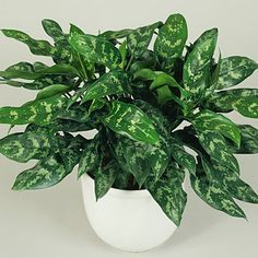 Aglaonema Crispum - Chinese Evergreen  Keep an eye on this one as it may be picky about light and moisture. Once you get happy in a location, it's very easy. Many different color/pattern varieties available.